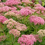 Pracht - Fetthenne (Sedum spectabile 'AUTUMN RED')