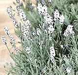 Lavendel (Lavandula angustifolia 'Edelweiss') WEISS