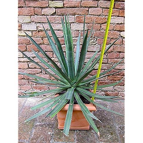 Agave funkiana var. blue form 70 cm + vaso in resina, cactus, pianta grassa - Piante Radice Nuda