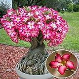 Bargain World 1pcs desierto rojo rosa Adenium obesum semillas de flores jardín planta en maceta suculenta