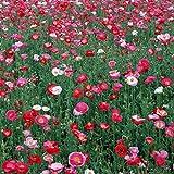 Cioler Wildblumensamen Selten Blumensamen Blumenmischung Samen für Blumenwiesen/Blumenbeet/Bauern- und Naturgärten winterhart mehrjährig bienenfreundlich Blumen Saatgut