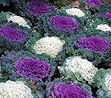 Cavolo ornamentale, semi di Kale Ornamentali - Brassica oleracea