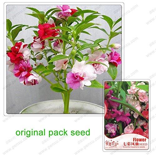 70 graines / Pack, graines colorées impatiens, balcon jardin fleurs plantes vertes en pot Impatiens multicolores