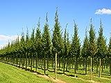 Pyramiden-Hainbuche - Baum - Carpinus betulus Fastigiata - Containerware 100-125 cm - Garten von Ehren®