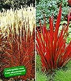 BALDUR-Garten Rote Gräser-Kollektion,4 Pflanzen