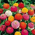 Gärtner Pötschke Zinnie Liliput Mischung von Gärtner Pötschke auf Du und dein Garten