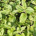 Zitronenminze (Mentha gentilis var. citrata) - Ein Plus für Gaumen und Augen in deftigen Hauptspeisen, süßen Desserts und erfrischenden Drinks von Die Stadtgärtner bei Du und dein Garten