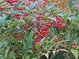 NANDINA piante ornamentali