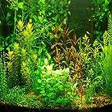 (ags1000 * Ambizu *) nueva 1000pcs Acuario Planta acuática de agua Hierba semillas semillas