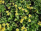 Waldsteinia ternata Bodendecker Goldbeere im 0,5L Topf gewachsen 25 Stück