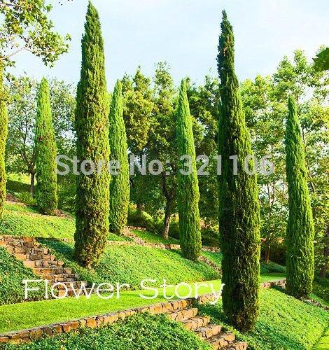 50 CYPRESS ITALIANA (Cupressus sempervirens) semi di albero, popolari semi bonsai resistenti per la semina giardino di casa !!
