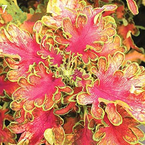 obiqngwi 50 Stücke Coleus Blumei Samen Zierpflanze Hausgarten Bonsai Yard Street Decorn Indoor Outdoor Dekoration - 7# Coleus Blumei Samen - Street-mischung