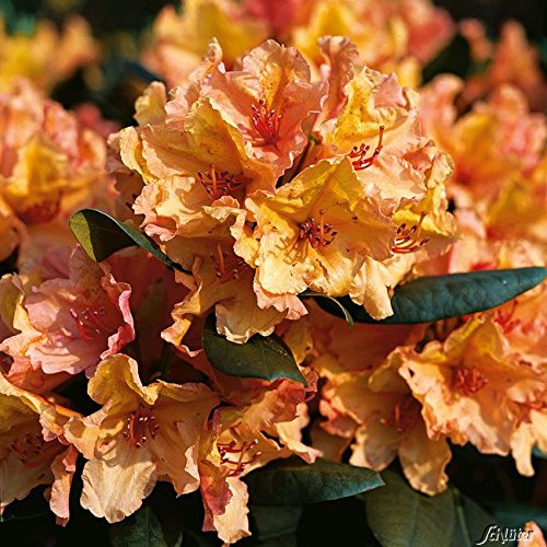 Rhododendron 'Brasilia®'