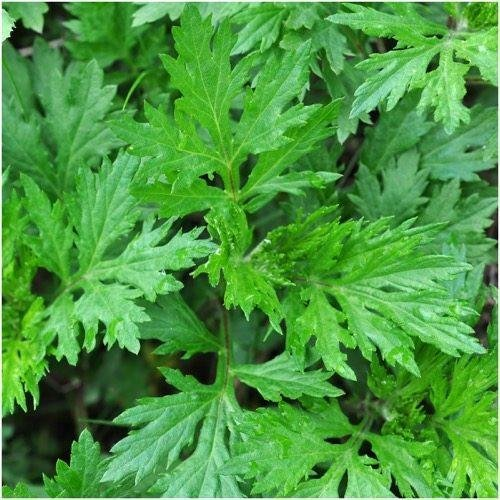 Pacchetto di 1.000 semi, Artemisia/Assenzio comune (Artemisia vulgaris)