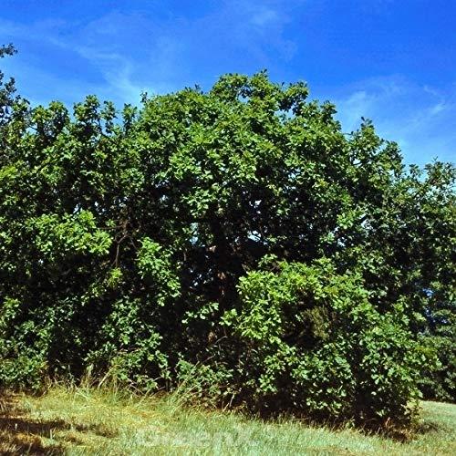 Hängende Stiel Eiche 100-125cm – Quercus robur