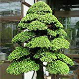 Hot 5 Satz / 100Pcs Heilige der japanischen Zeder Semillas Bonsai Samen leicht Bonsai Home Garten Dekoration Miniascape Samen zu planen