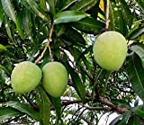 VPN Live Mango/Aam Langra Grafted Fruit Plant