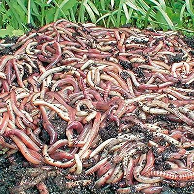 Gärtner Pötschke Kompostwürmer, Gartenwürmer, Regenwürmer, 250 g von Gärtner Pötschke bei Du und dein Garten