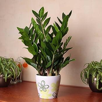 plante dint rieur plante pour la maison ou le bureau zamioculcas zamiifolia hauteur environ. Black Bedroom Furniture Sets. Home Design Ideas