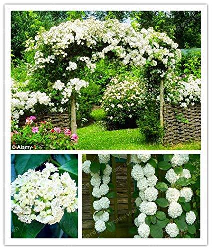 Bloom Green Co. 10Pcs / Bag Kletter-Hortensie Blumen Bonsai, Pflanzen ist einfach, Budding Rate von 95%, Four Season Säen Seltene Blumen-Bonsais