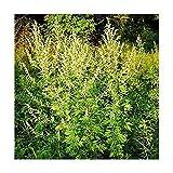 Einjähriger Beifuß - Qing Hao - Sweet Wormwood - Artemisia annua - 1000 Samen