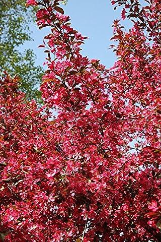 Malus Crab Apple Tree 'Toringo Scarlett' in a 12 Litre