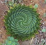 Pinkdose di semi di piante grasse, MESA Aloe rotazione polyphylla semi aloe vera regina, 100pcs / bag
