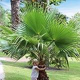 YouGarden Washingtonia Hardy Cotton Palm