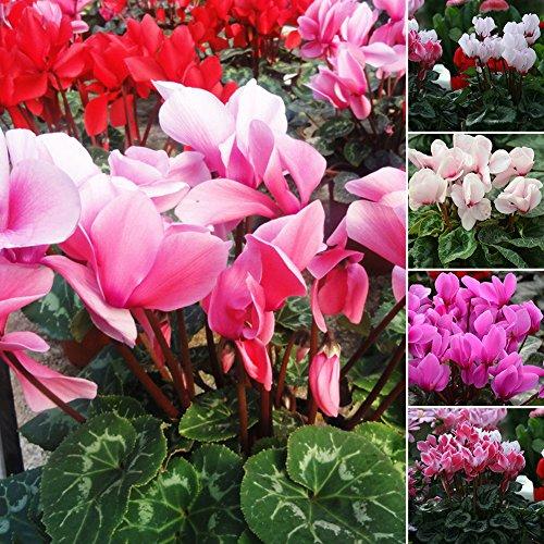 POTATO00150PCS colore misto fiore ciclamino semi bonsai decorazione casa giardino perenne, Mixed Colors, Cyclamen Seeds