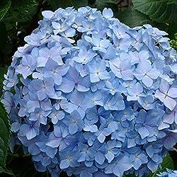 Imposes Hortensien Samen Blumensamen Sommer Blühen Hortensiensamen Mehrjährig Winterhart Samen Blumen Mischung Geschenk für Kinder 20 Stücke