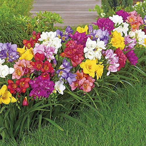 Soteer Garten - Freesien & Ranunkel-Mix Samen Duft-Freesien Blumensamen Blumenmeer Sommerblumen Gartenpflanzen duftend mehrjährig winterhart (50 Stück)