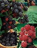 Brombeer-Set bestehend aus 2 Pflanzen Brombeere Chester Thornless und 1 Pflanze Dorman Red