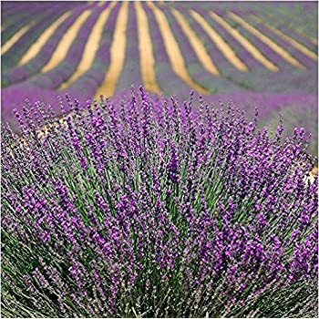 100 PC Seeds Provence Lavender Seeds