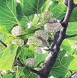 Pianta da frutto ALBERO DI GELSO BIANCO SIMILE ASIATICO A RADICE NUDA - 1 METRO