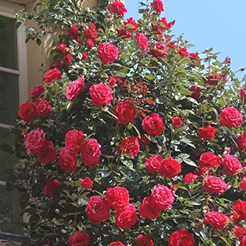 'Red Flame' (R), Kletterrose im 4-Liter-Container