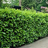 Special Deal - Laurel Hedging - Prunus laurocerasus Rotundifolia - Approx 2-3ft Plants - Pack of 10