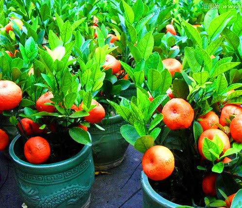Bloom Green Co. ! La perte Promotion 10 Pcs Balcon Patio pot fruits planteur d'arbres bonsaïs Kumquat orange Tangerine Citrus, UTK81T: 3