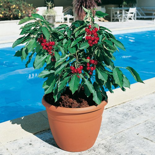 patio-cherry-garden-bing-potted-tree-1m