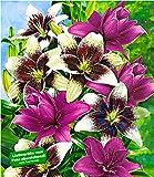 BALDUR-Garten Winterhart Lilien-Mix 'Tango & Lilac'