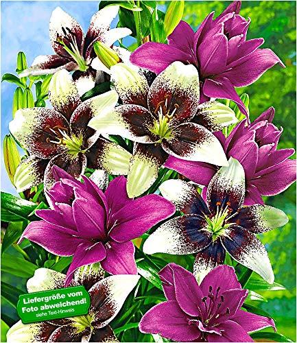 BALDUR-Garten Winterhart Lilien-Mix \'Tango & Lilac\', 5 Zwiebeln Lilium