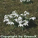 Schneeglöckchen Flore Pleno - Galanthus nivalis