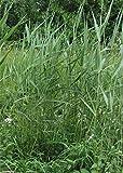 Schilfrohr Filterpflanze Teichpflanze Teichpflanzen Schwimmteich