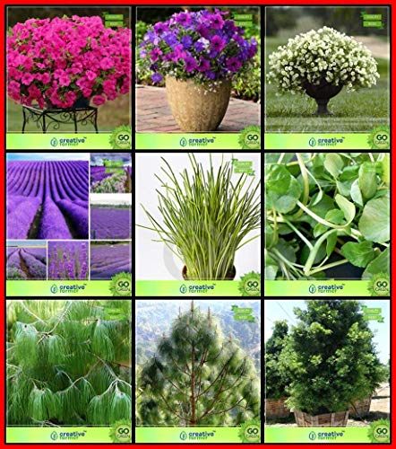 BloomGreen Co. High Quality Seeds Combo Fleur Graines & Graines Arbre: Pin, pin Chir,...