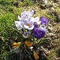 """Krokus - Crocus """" Großblumige Mischung """" 10 Zwiebeln von GHA-Thulke auf Du und dein Garten"""
