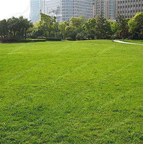 500 Pcs Rare Blue Grass Seed Graines à gazon Fleurs vivaces Jardin Terrains de soccer Villa Haute GradeOutdoor Graine de plantes 8