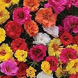 WuWxiuzhzhuo 100Frische Blume Samen, Moss Rose Double Mix Portulakröschen Gartenarbeit 1