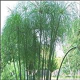 Tropica - acquatiche piante pianta papiro egiziano (cyperus papyrus) 15 semi