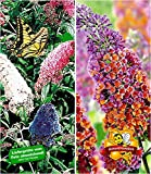 Sommerflieder-Sortiment Buddleia 'Papillion Tricolor' und 'Flower-Power