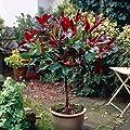 "Photinia ""Red Robin"" Standard Plants 1M tall"