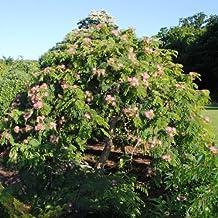 Future Exotics Albizia julibrissin Seidenbaum Mimosengewächs - 50 - 55 cm winterhart
